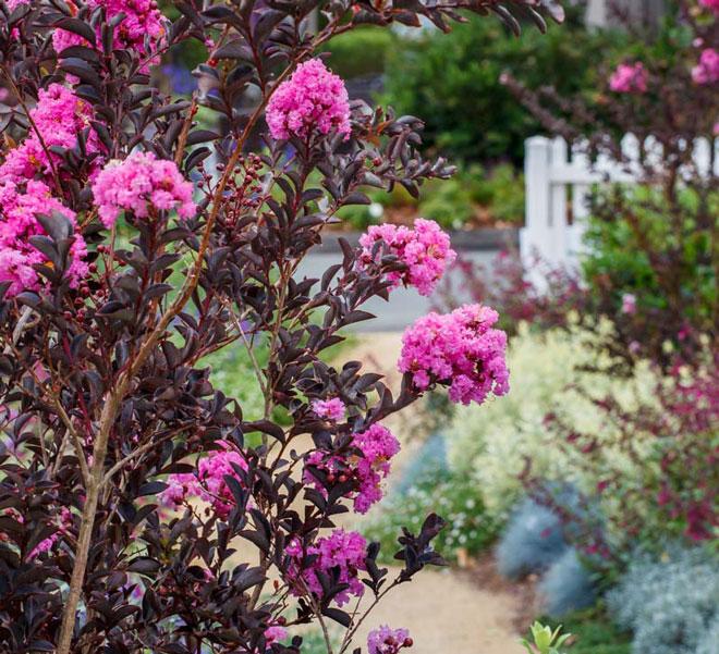Heat-Loving Delta Crapemyrtles Offer a Unique Landscape Solution