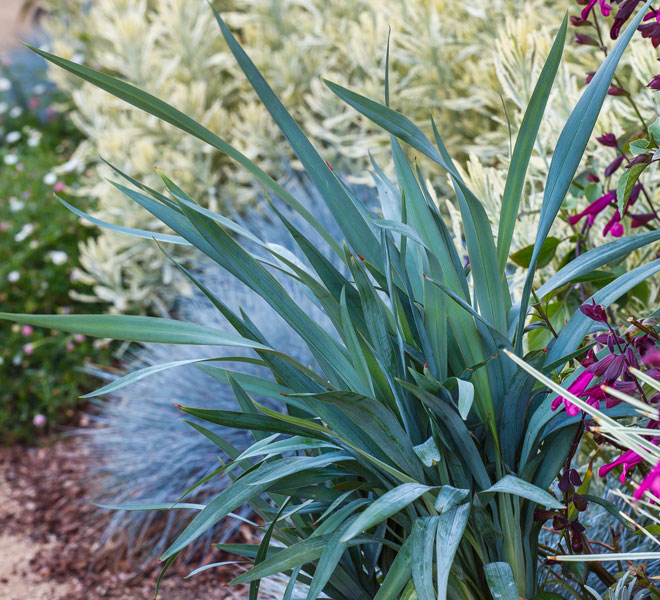 Versatile 'Clarity Blue' Dianella makes gardening a breeze