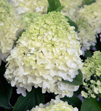 White Wedding™ Hydrangea