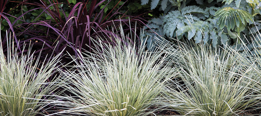 Use Platinum Beauty lomandra wherever you might consider an ornamental grass. Being evergreen, this perennial provides year round beauty and thrives in well drained soil in either full sun or partial shade.
