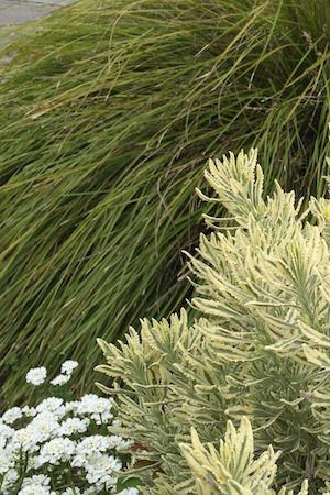 Platinum Beauty™ Lomandra