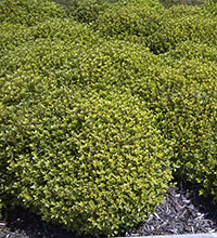 Beach Ball™ Pittosporum