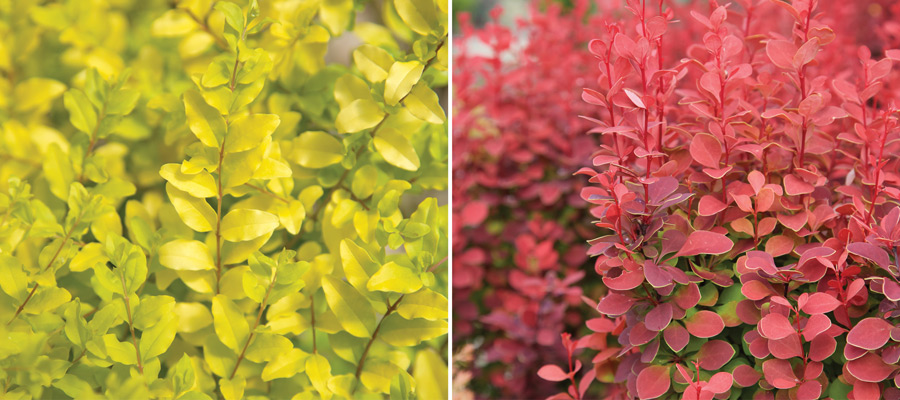 Combine Orange Rocket barberry and Sunshine ligustrum to establish a bold centerpiece in a glossy orange pot, allowing their upward facing branches to mingle, mimicking a passionate dance of fiery flames.