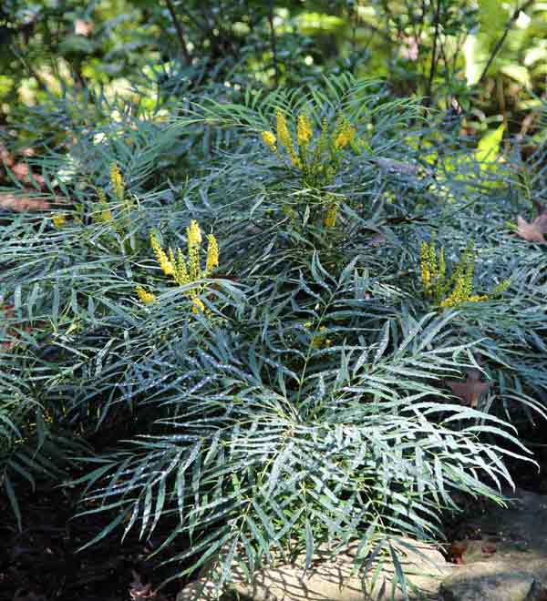 'Soft Caress' Mahonia Wins
