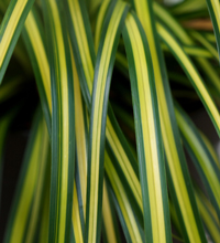 EverColor® 'Eversheen' Carex