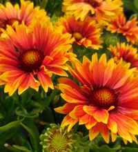 'Sunset Orange' Gaillardia