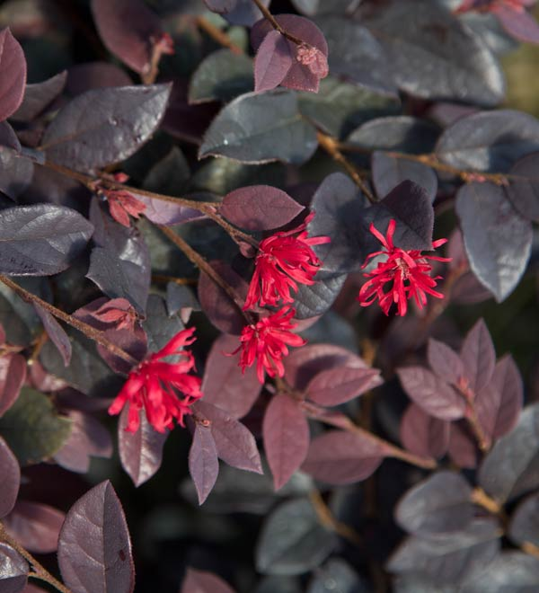 Red Diamond™ Midsize Loropetalum