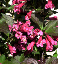 Shining Sensation™ Weigela
