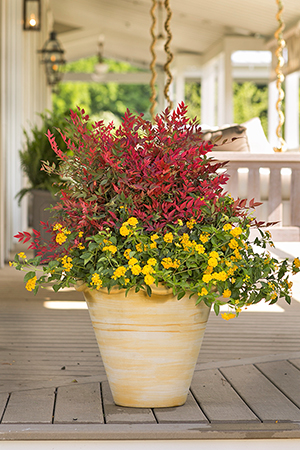 Obsession™ Nandina Container