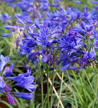 Little Blue Fountain™ Agapanthus Closeup