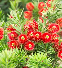 Light Show® Red Bottlebrush Cloesup