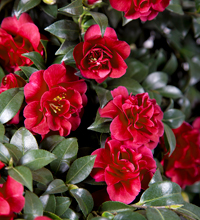 October Magic® Ruby™ Camellia Habit