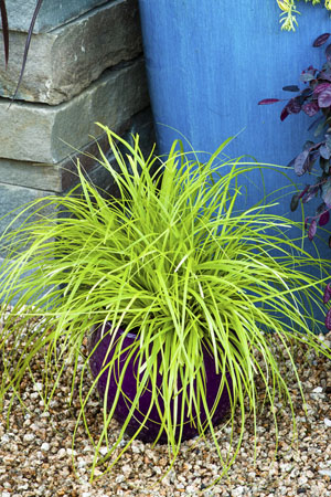 EverColor® 'Everillo' Carex