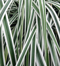 EverColor® 'Everest' Carex Closeup