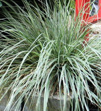 EverColor® 'Everest' Carex Landscape