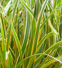 EverColor® 'Everglow' Carex Closeup