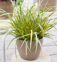 EverColor® 'Everglow' Carex Containe