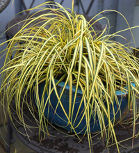 EverColor® 'Everoro' Carex Container