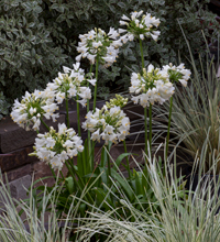 Ever White Agapanthus Sunset Western Garden Collection