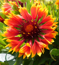 'Sunset Flash' Gaillardia Closeup