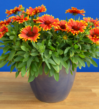'Sunset Flash' Gaillardia Container