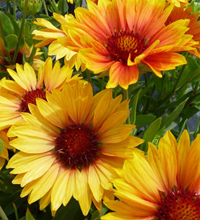 'Sunset Orange' Gaillardia Closeup