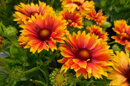 'Sunset Orange' Gaillardia Portrait