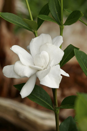 Jubilation™ Gardenia Closeup