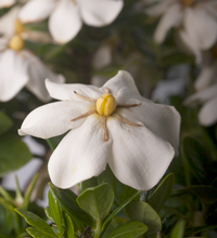 ScentAmazing™ Gardenia Closeup