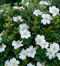 ScentAmazing™ Gardenia Habit