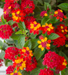 Lantana Firestorm Closeup