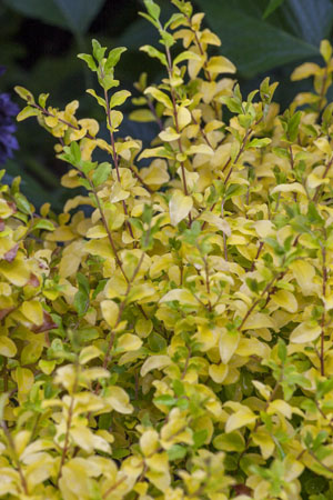 'Sunshine' Ligustrum Closeup