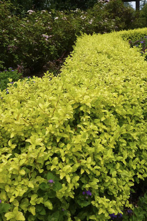 'Sunshine' Ligustrum Portrait