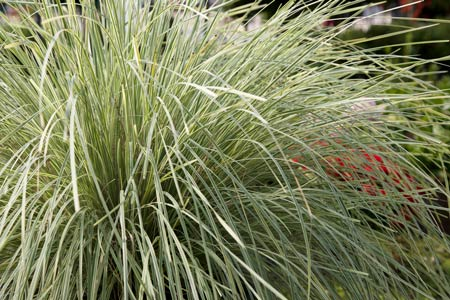 Platinum Beauty™ Lomandra Habit