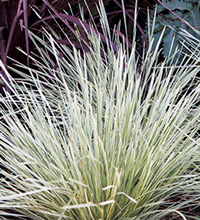 Platinum Beauty™ Lomandra Closeup