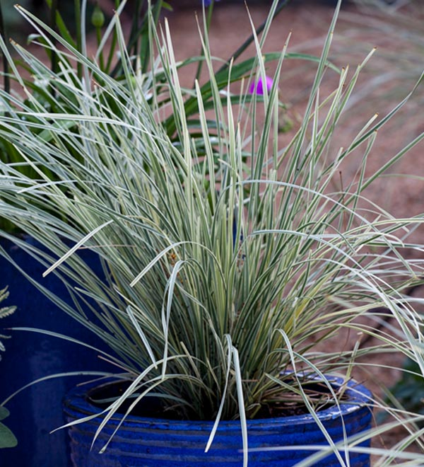 Platinum Beauty™ Lomandra Container