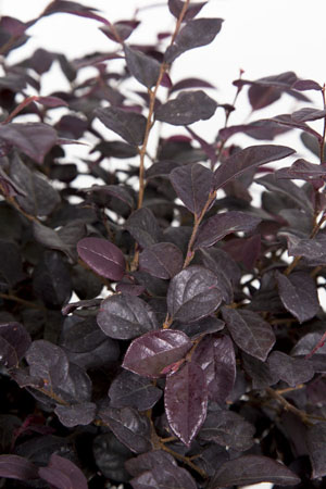 Red Diamond™ Loropetalum Closeup