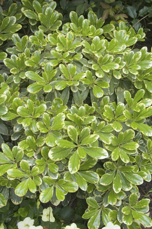 Mojo® Pittosporum Portrait