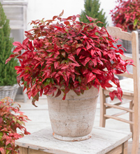 Blush Pink™ Nandina Winter Color Decorative Container