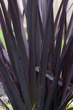 Black Adder Phormium Closeup