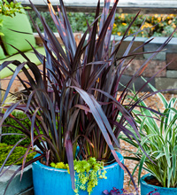 Black Adder Phormium Container