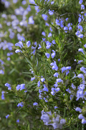 Chef's Choice® Rosemary Closeup 2