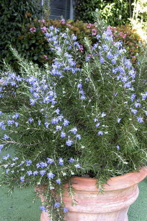 Chef's Choice® Rosemary Portrait