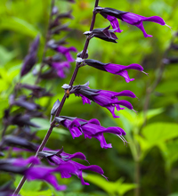 'Amistad' Salvia Closeup