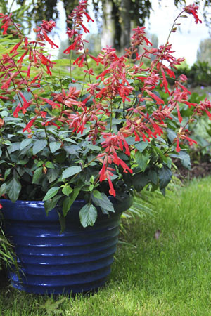 'Ember's Wish' Salvia Container
