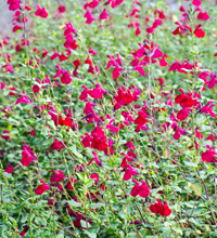 'Killer Cranberry' Salvia Closeup