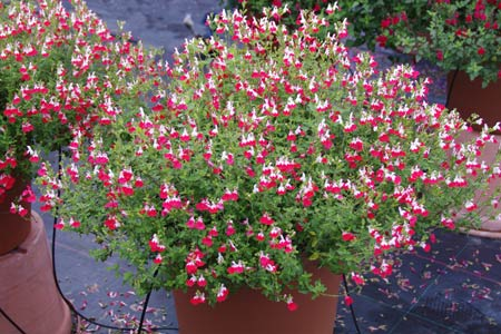 'Little Kiss' Salvia Container