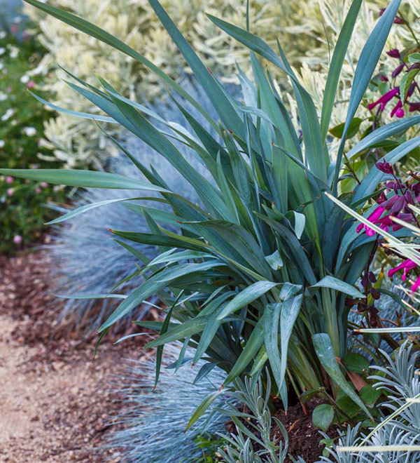Clarity Blue™ Dianella