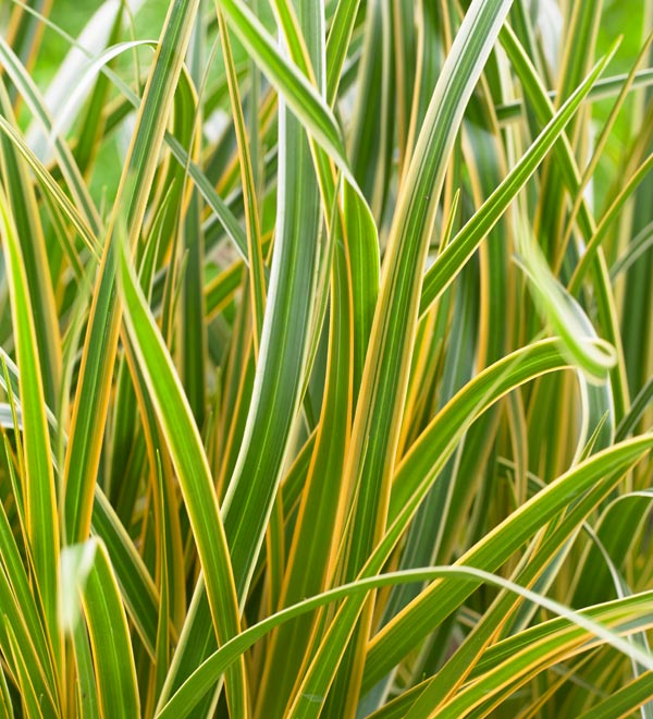 EverColor® 'Everglow' Carex