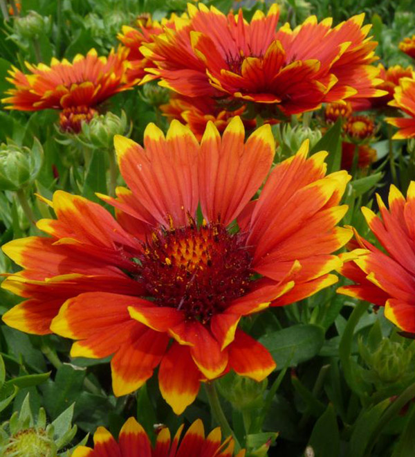 'Sunset Flash' Gaillardia